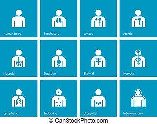 blå, lymphatic, endokrin, ikonen, nervös, integumentary, anatomi, bakgrund., digestiv, urogenital, mänsklig, andnings, system