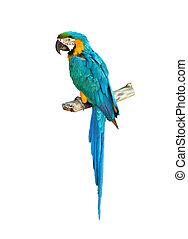 blå, macaw, farverig, papegøje