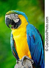 blå, macaw, guld