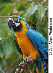blå, macaw, guld, træ branch, fugl