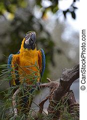blå, macaw, siddende, træ, gul, branch, fugl