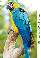 blå, macaw, træ, store, branch, perched