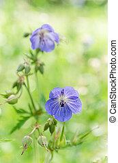 blå, närbild, Blomstrar, fält