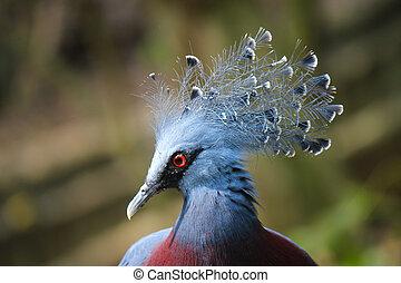 blå påfugl