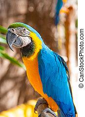 blå, portræt, gul, halsen, papegøje