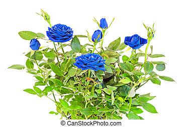 blå, roser, blomst, busk, hos, buds, ind, en, brun, vase, urtepotte, grønnes forlader, rykke sammen, hvid baggrund