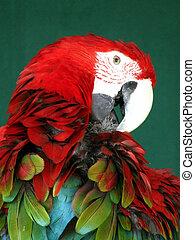 blå, skarlagensrød macaw