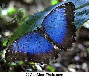 blå, sommerfugl, morpho