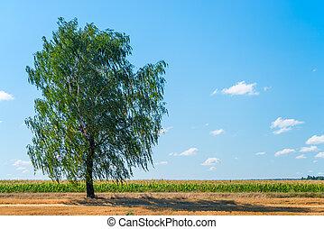 blå, stor himmel, felt, baggrund, birk, i tiltagende