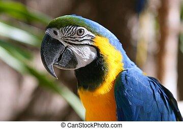 blå, tropisk, macaw, gul, guld