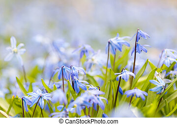 blå, vår blommar, glory-of-the-snow