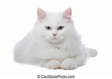 blått synar, två, gul, katter, vit