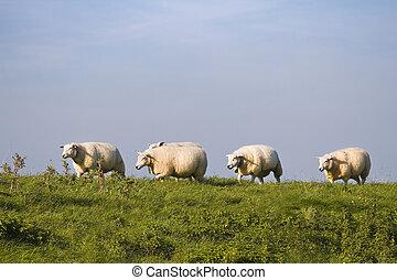 blåttsky, grönt gräs, sheep, i en ro