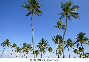 blåttsky, palmträdar, in, florida, tropisk, sommar