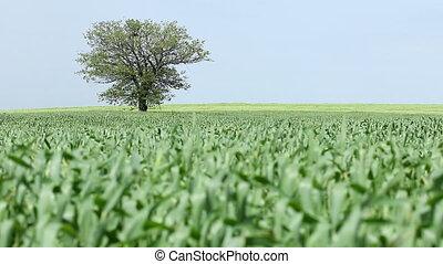 blé, arbre, champ vert