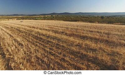 blé, ascendance, chien, champ, cultivé, indicateur