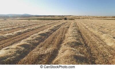 blé, ascendance, chien, champ, cultivé, suivre, indicateur