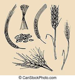 blé, brasserie, seigle, set., céréales, oreilles, pointes, vecteur, signe., orge, ferme, illustrations, main, dessiné, icône, logotype