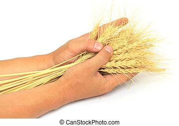 blé, dans, les, mains, de