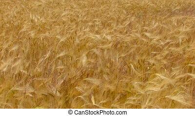 blé, doré, vent, champ, en mouvement, hd