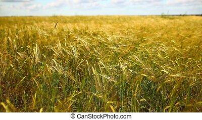 blé, field.