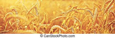 blé, field., naturel, fond
