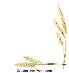 blé, frontière, oreilles
