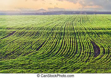 blé, hiver, printemps, matin, tôt, champ