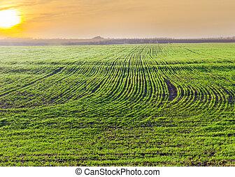blé, hiver, printemps, tôt, champ, levers de soleil