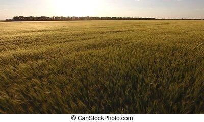 blé, impressionnant, coucher soleil, prise vue aérienne, oreilles