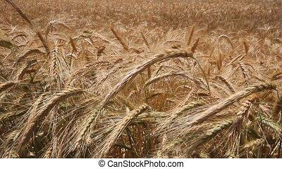 blé, jaune, vent, récolte, balançoire, par