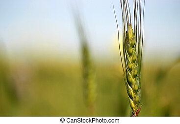 blé, jeune