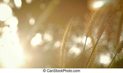 blé, lumière, champ, brise, coucher soleil, 4k