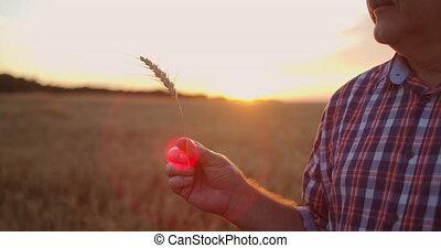 blé, mâle, it., brosse, moustache, étudier, tient, regarde, personnes agées, coucher soleil, seigle, paysan, analyser, mains
