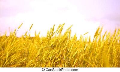 blé, mûre, oreilles