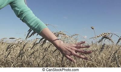 blé, mûre, tiges, ensoleillé, main, par, femme, mouvements, jour
