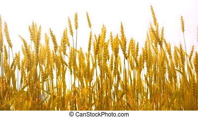 blé, mûre, vague, champ, vent, oreilles