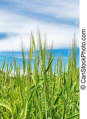 blé, naturel, fond, oreilles