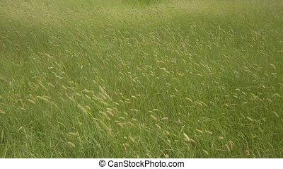 blé, oreilles, champ, vert, vaciller, vent