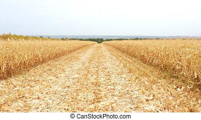 blé, ou, cultures, harvesting., aérien, maïs, jaune, voler plus, field., agriculture, arrière-plan., pendant, paysage, vue scénique, beau, concept