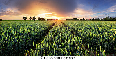 blé, panorama, -, champ, coucher soleil, agriculture, route