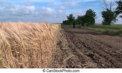 blé, pays, couple, champ, bicycles, par, adulte, équitation, long, route