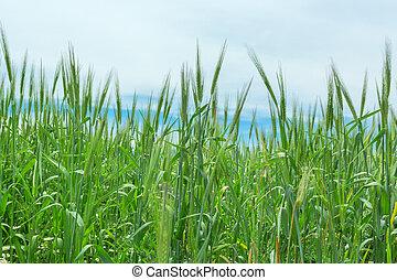blé, printemps, champ, fond, naturel, herbe, oreilles