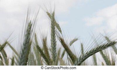 blé, récolte, oreilles