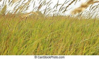blé, s'agiter, vent, oreilles