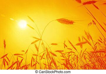 blé, soleil, levée, contre, oreilles