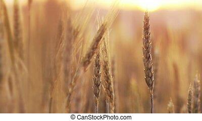 blé, spikelets