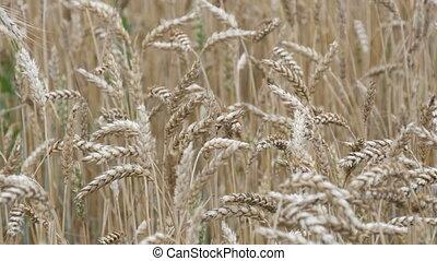 blé, spikelets, mûre, champ jaune, développer, vent