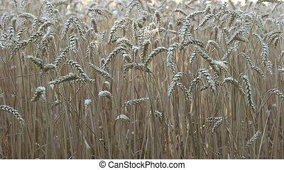 blé, spikelets, vent, mouvementde va-et-vient