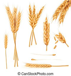 blé, vectors, collection, réaliste, graines, oreilles